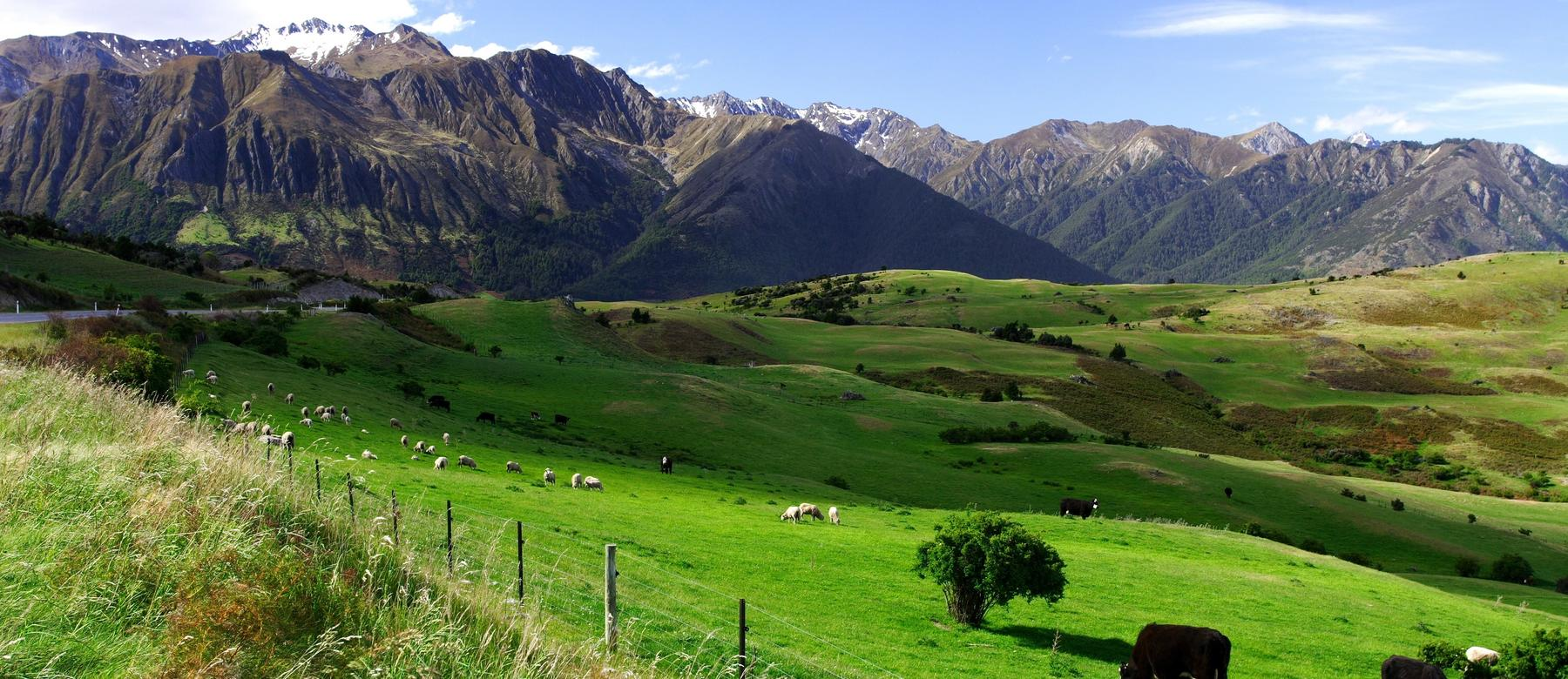 NZ country landscape, mountains and cows